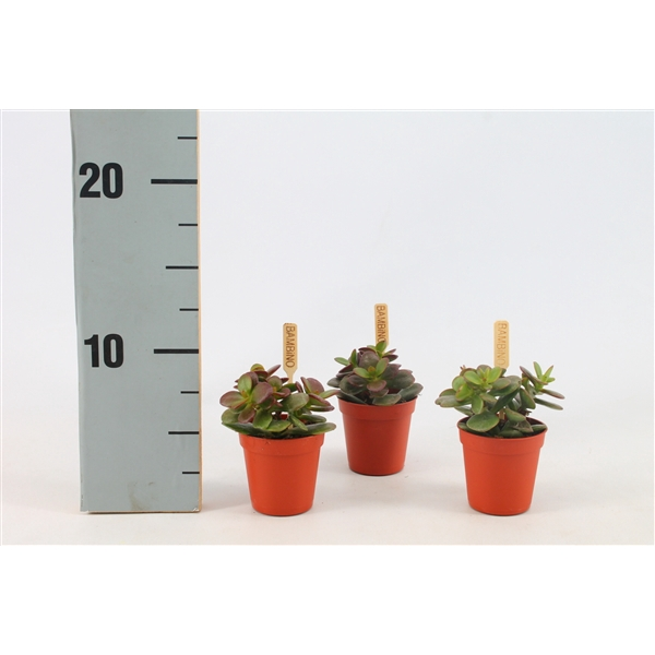 <h4>Crassula minor, 5,5 cm</h4>