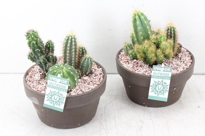 <h4>arr. UB - Cactus taupe schaal x3</h4>