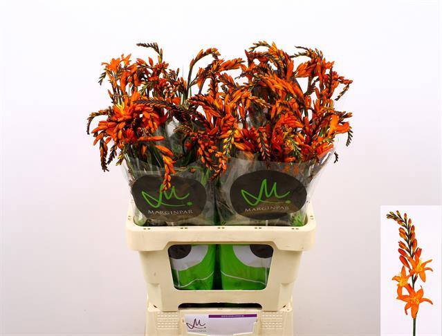 <h4>Crocos Pr Of Orange</h4>