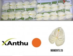 <h4>Anthurium Moments</h4>