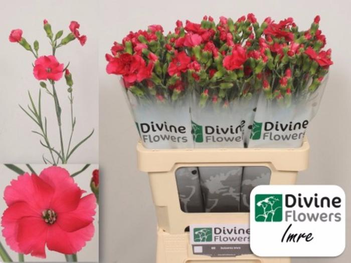 <h4>Dianthus Solomio Imre</h4>
