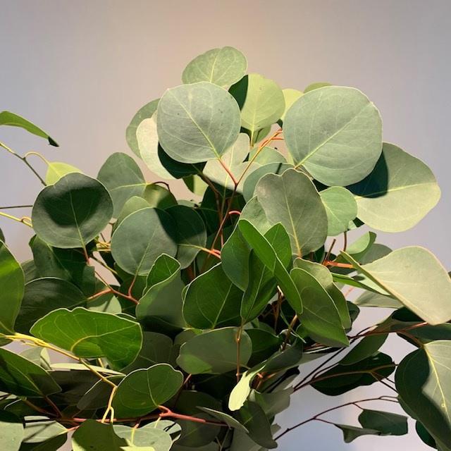 <h4>Greens - Eucalyptus populus</h4>