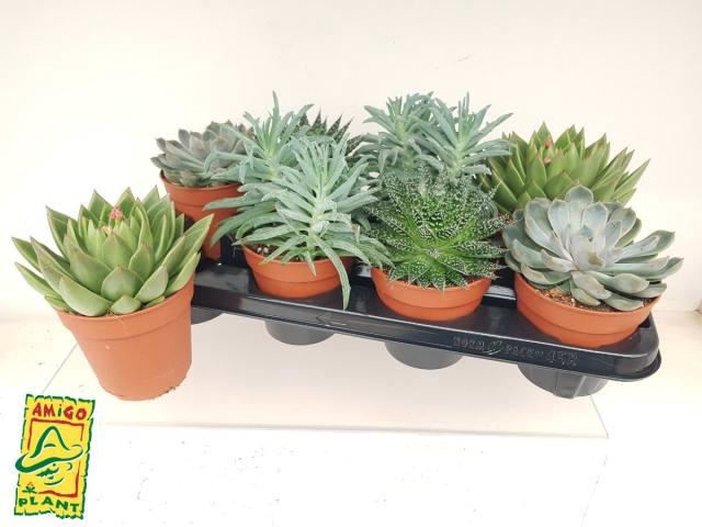 <h4>Succulenten gemengd 4 soorten</h4>