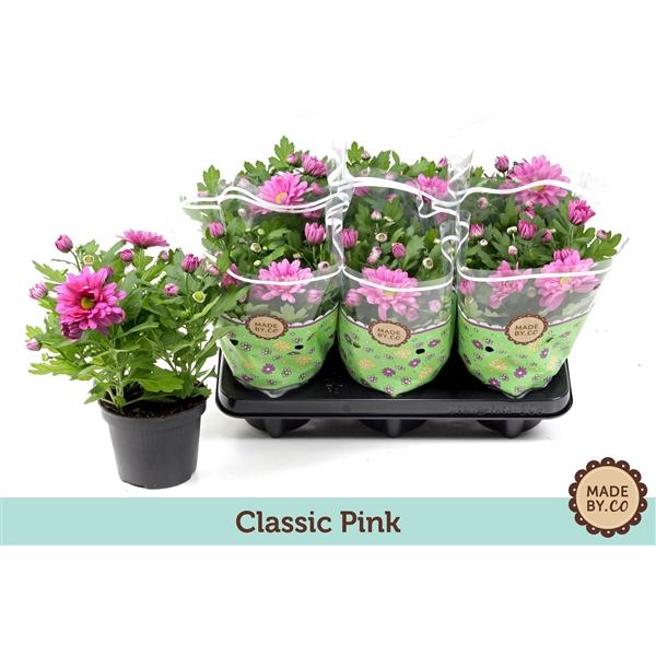<h4>Chrysanthemum pink</h4>