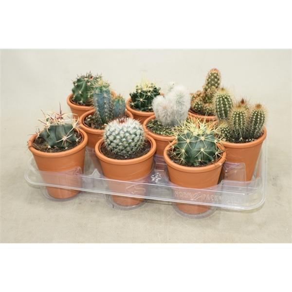 <h4>Cactus gemengd In cilinderpot</h4>