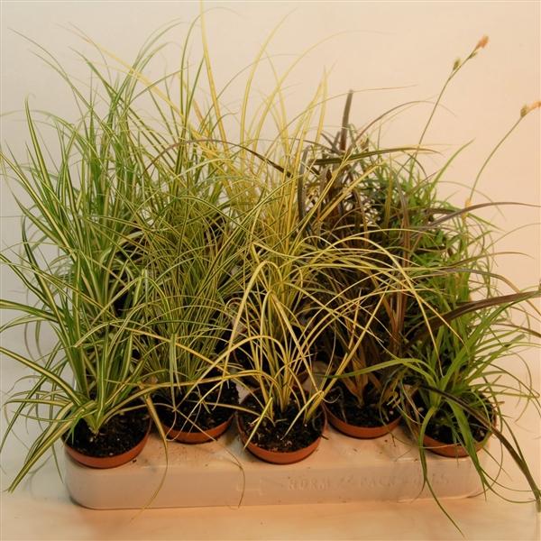 <h4>Carex gemengd p5,5</h4>