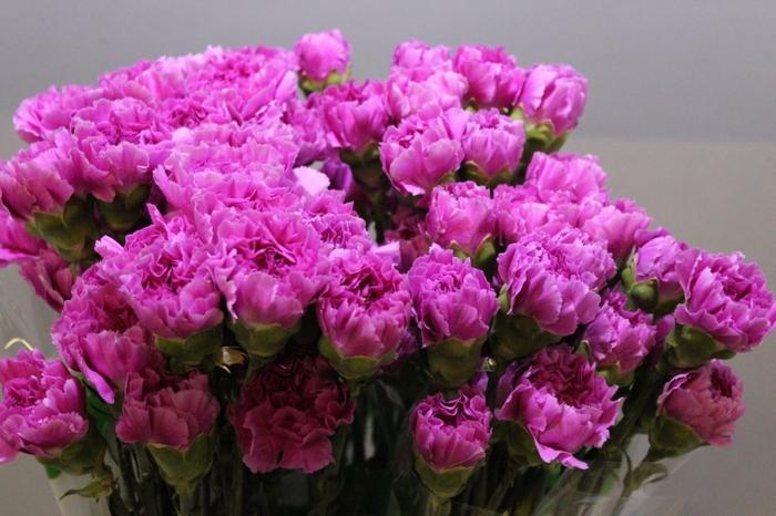 <h4>Dianthus Farida</h4>