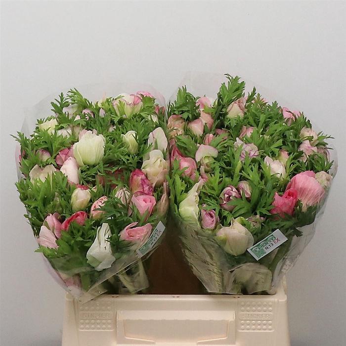 <h4>Anem Mistral Sr White Pink Super</h4>