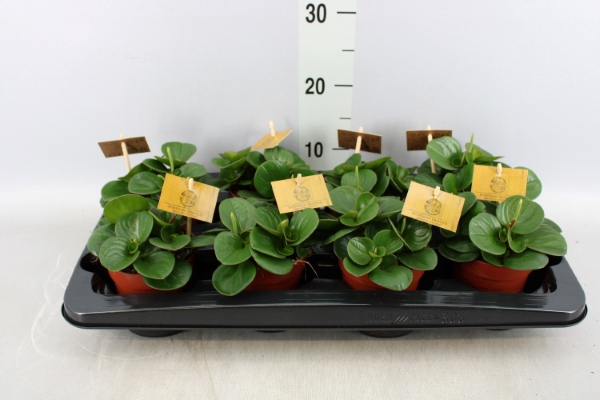 <h4>Peperomia obt. 'Obtipan'</h4>