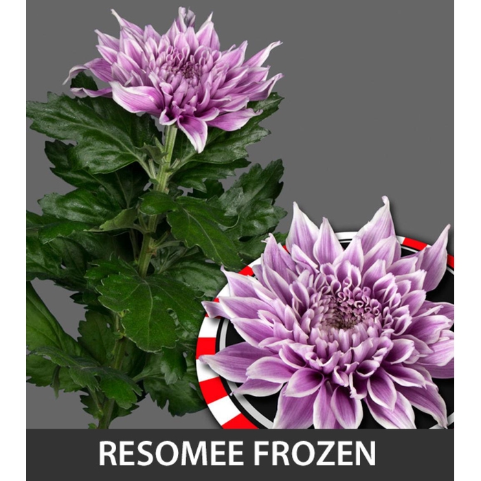 <h4>Chr G Resomee Frozen</h4>