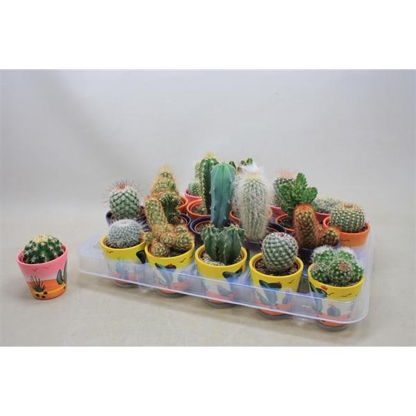 <h4>Cactus gemengd In decorpotjes</h4>