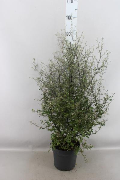 <h4>Corokia virgata 'Maori Green'</h4>