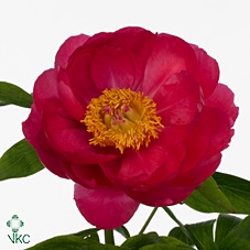 <h4>PAEONIA  CYTHEREA</h4>