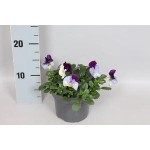 Viola Coolwave Violet Wing
