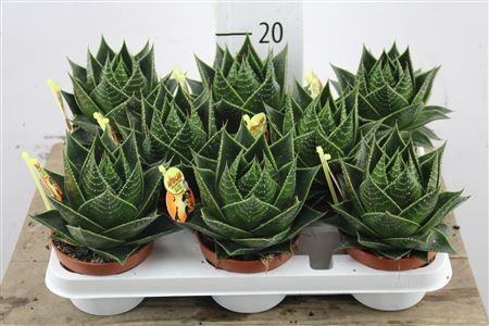 <h4>Aloe Cosmo</h4>