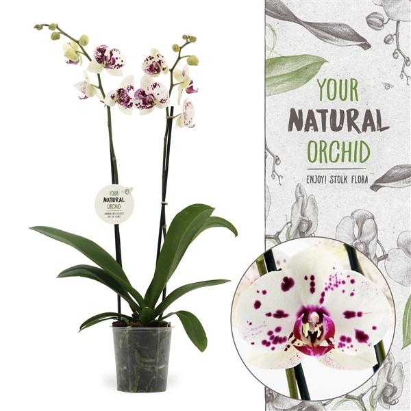 <h4>Phalaenopsis San Sebastian</h4>