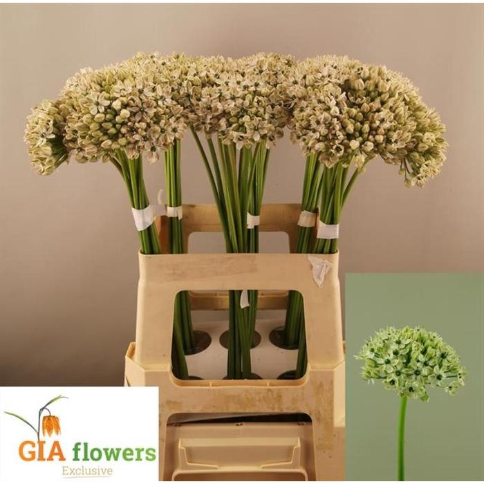 <h4>Allium Nigrum</h4>