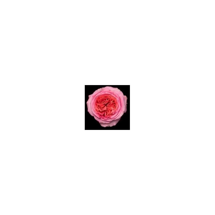 <h4>Rosa Gr. DFR107</h4>