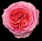 Rosa Gr. DFR107