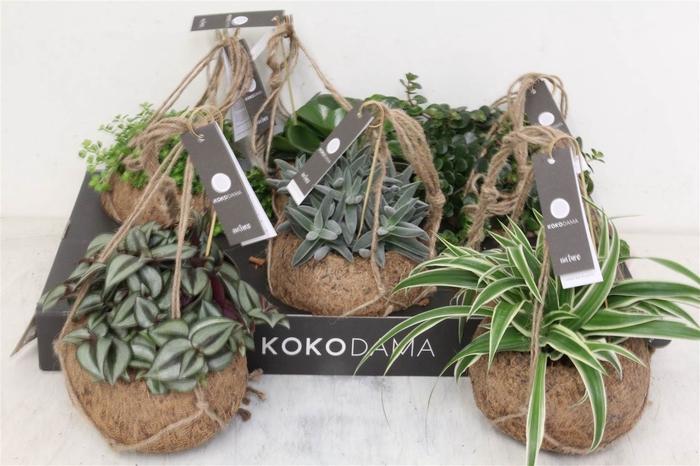 <h4>Koko Smit Collection Strin #</h4>