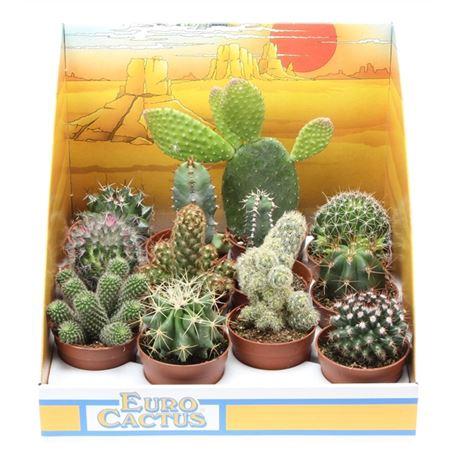 <h4>Cactus Mix In Showdoos</h4>