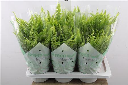 <h4>Nephro Ex Green Moment</h4>