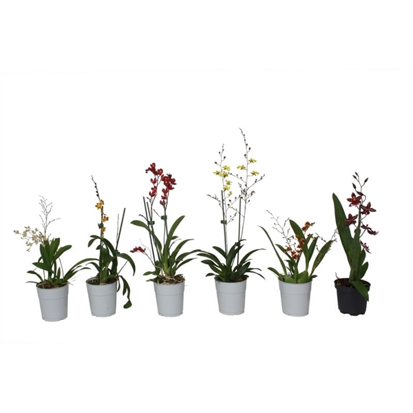 <h4>Orchidee p09 mix 1t</h4>