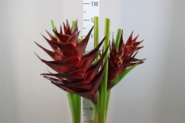 <h4>Heliconia Prince Of Darkness</h4>