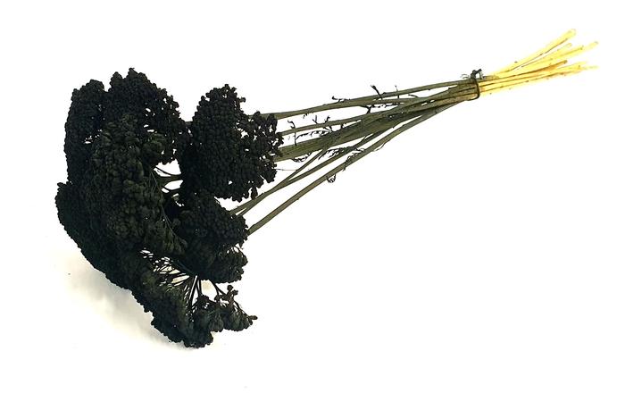<h4>Achillea per stem Black</h4>