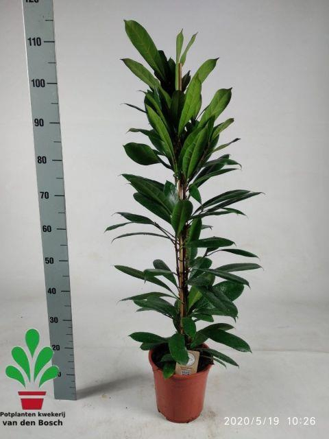<h4>Ficus Cyathistipula 21Ø 110cm</h4>