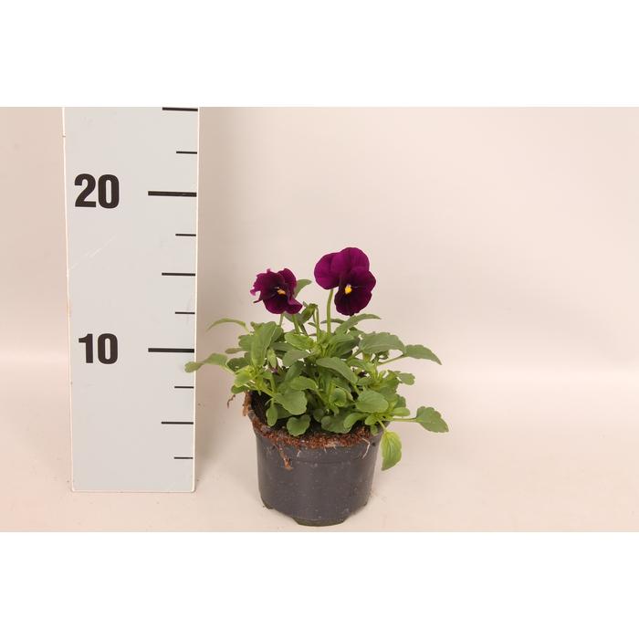 <h4>Viola cornuta F1 Purple</h4>