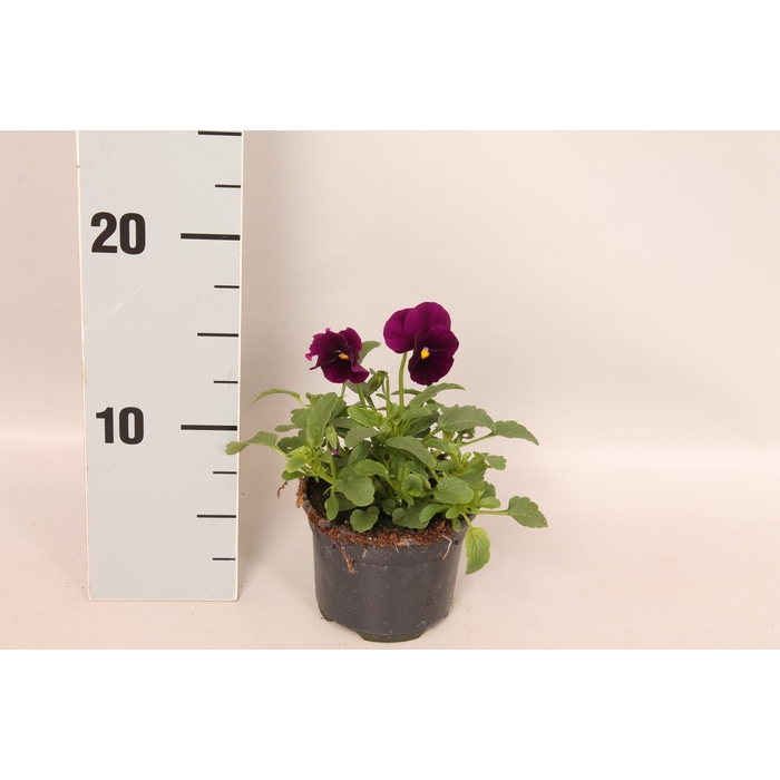 <h4>Viola cornuta sixpack F1 Purple</h4>