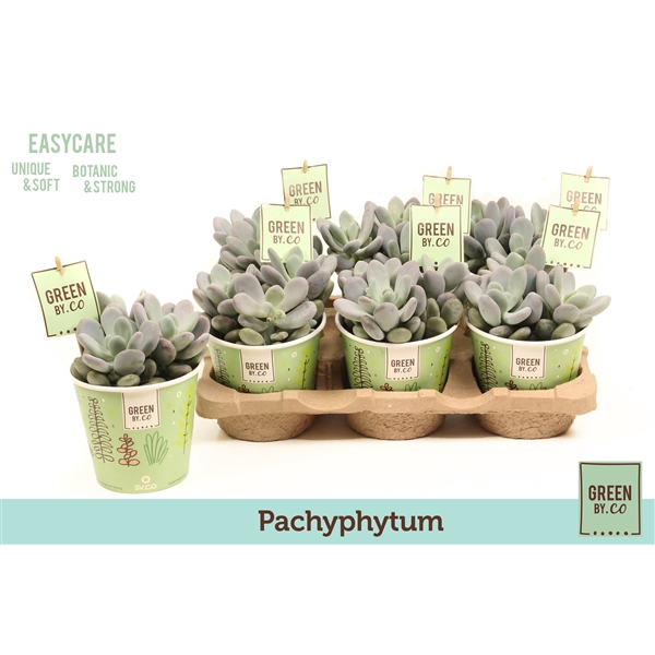 <h4>Green by.co pachyphytum (succulent)</h4>