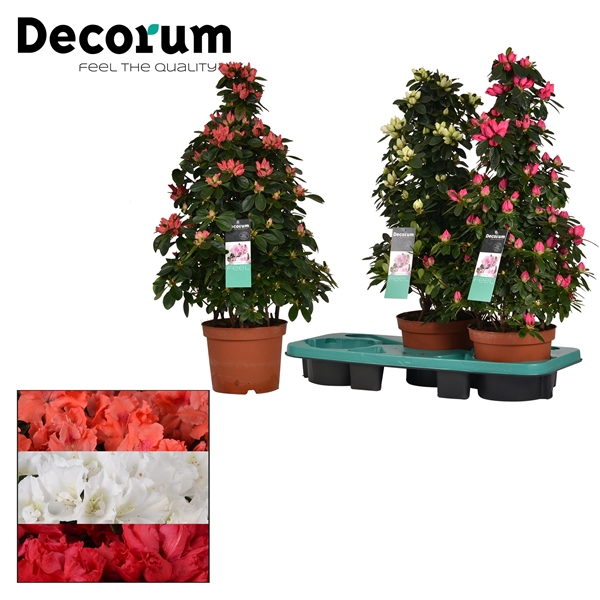 <h4>Azalea 17 cm Piramide MIX 3 srt  Decorum</h4>