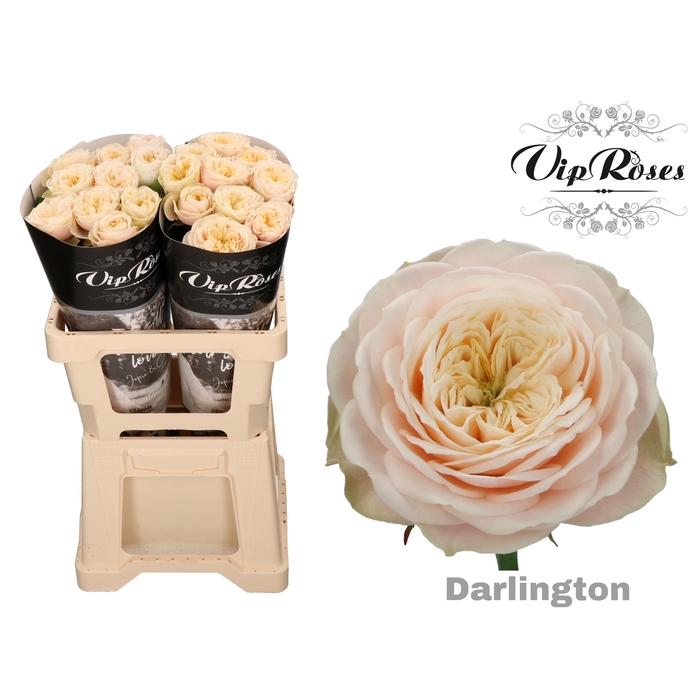 <h4>R GR DARLINGTON x 20</h4>