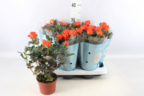 <h4>Rosa  'Orange Jewel'</h4>