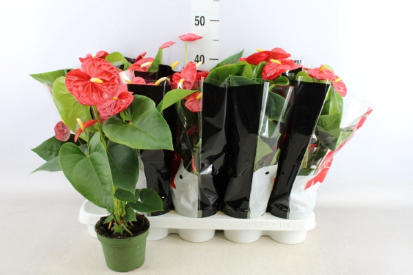 <h4>Anthurium andr. 'Royal Champion'</h4>