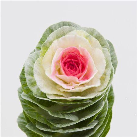 <h4>Brassica Powder Dolce Vita</h4>