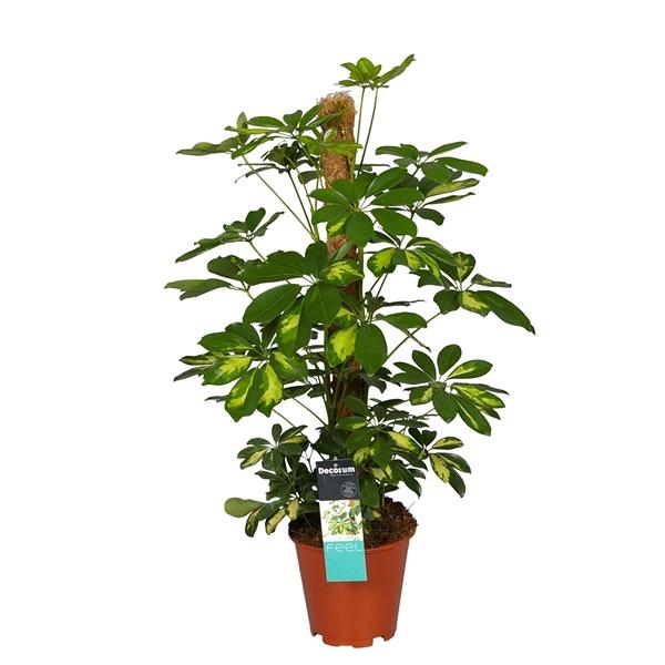 <h4>Schefflera arb. Gold Capella</h4>