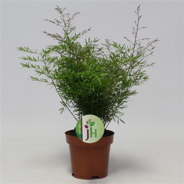 <h4>Asparagus den. Cwebe</h4>