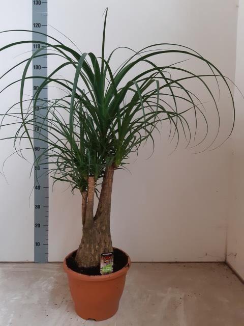 <h4>Nolina recurvata (Beaucarnea)</h4>