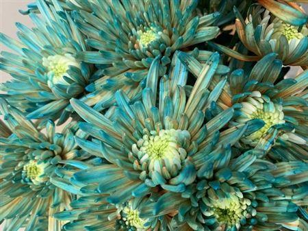 <h4>Chr G Topspin Blue Bay</h4>