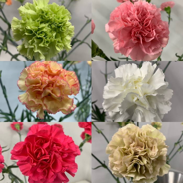 Dianthus - Carnation Standard Mix