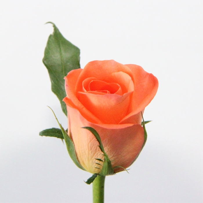 <h4>Rose Tropical Amazon</h4>