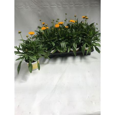 <h4>Coreopsis Grandiflora 'early Sunrise'</h4>