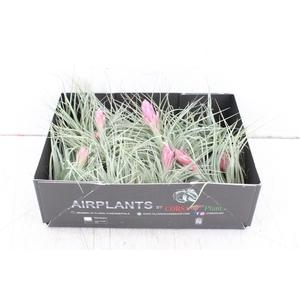 arr. CP - Till. zilverster bloem