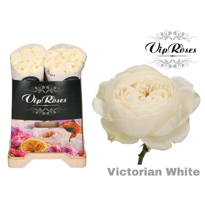 <h4>R GR VICTORIAN WHITE</h4>