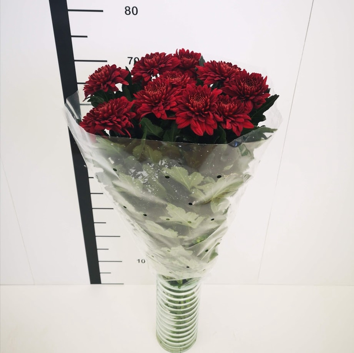 <h4>Chrysanthemum monoflor zembla roja</h4>