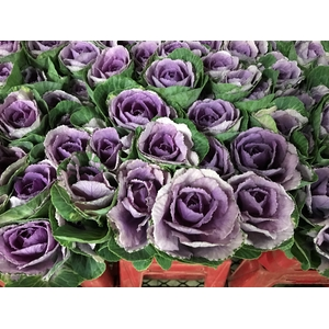 Brassica Purple (Kale)