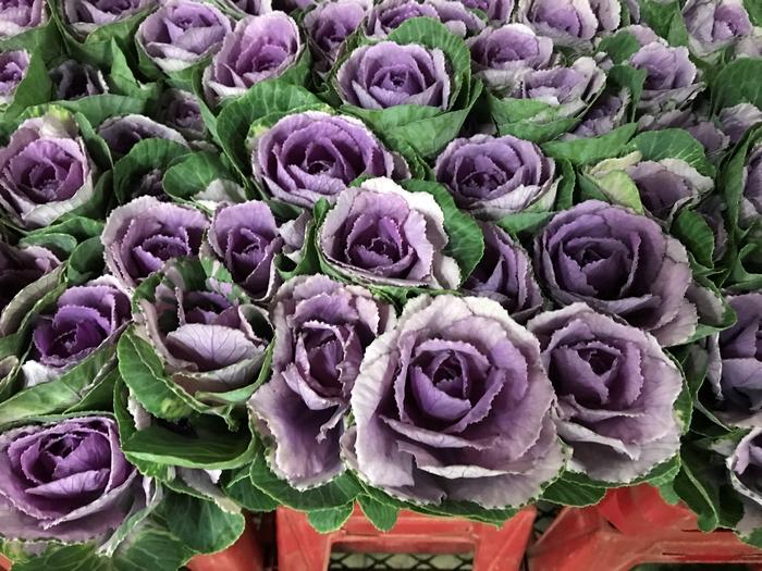 <h4>Brassica Purple (Kale)</h4>